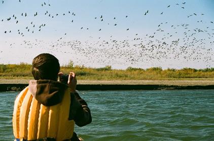 Flocks of Sandhill Cranes at the South Saskatchewan River
