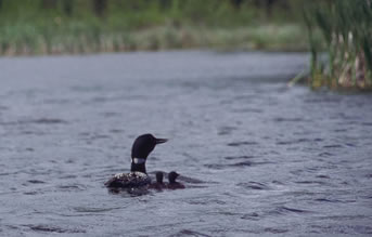 Common loon with chicks in Prince Albert National Park