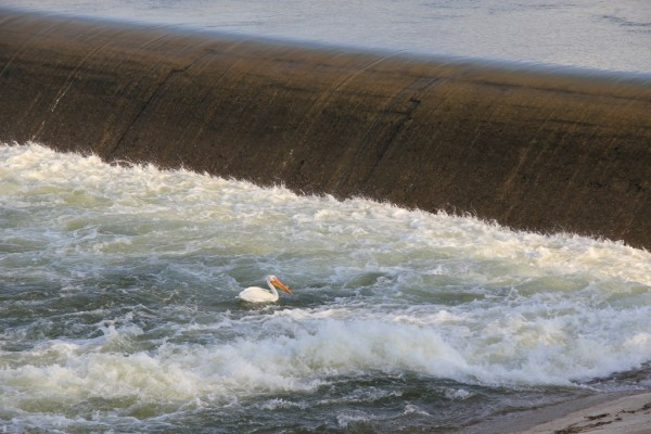 Weir and American Pelican at Saskatoon's weir